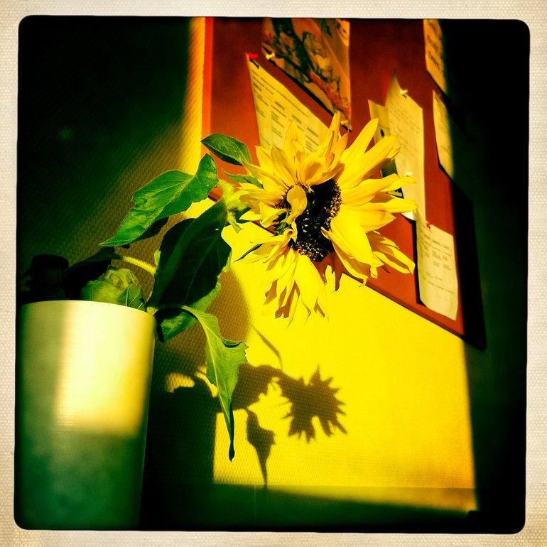 Auch die Sonnenblume lässt den Kopf hängen